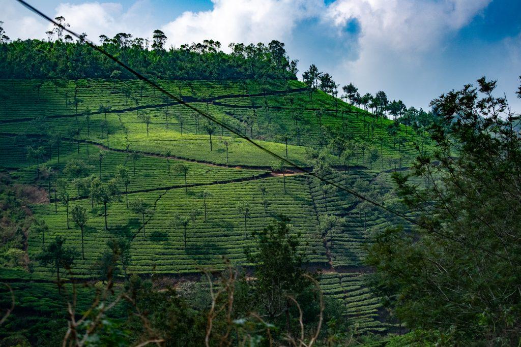 terrasses de thé du kerala au sud, incontournable du sud ouest de l'inde