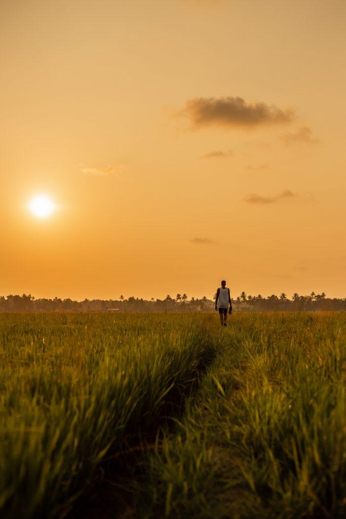 Inde kerala rizière coucher de soleil